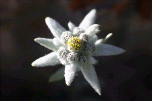 edelweissgrande.jpg